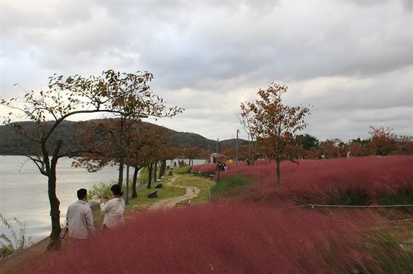 경주 보문관광단지  호반길 사랑공원에 식재된 핑크뮬리 모습