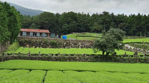 서귀다원. 서귀포 중산간에 포근하게 펼쳐진 녹차밭이다.