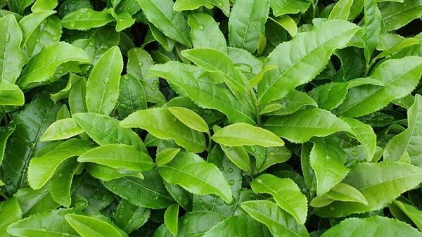녹차잎. 최고의 품질을 위해 1년에 한 번만 수확한다고 한다.