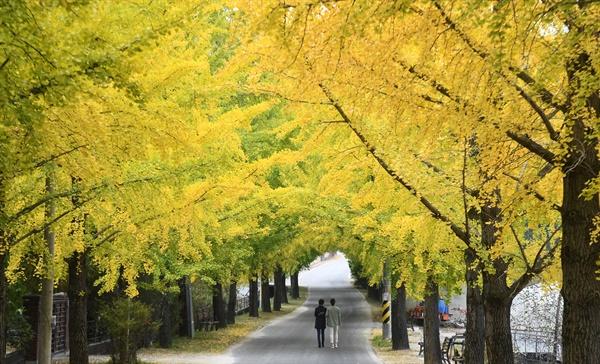 거창 의동마을 은행나무길.