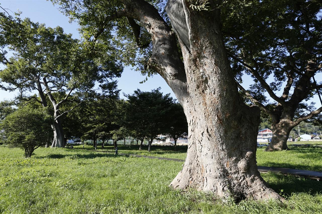 수백 년을 산 노거수가 우람한 자태를 뽐내고 있는 함평 향교마을숲. 세월의 더께가 고스란히 묻어난다.