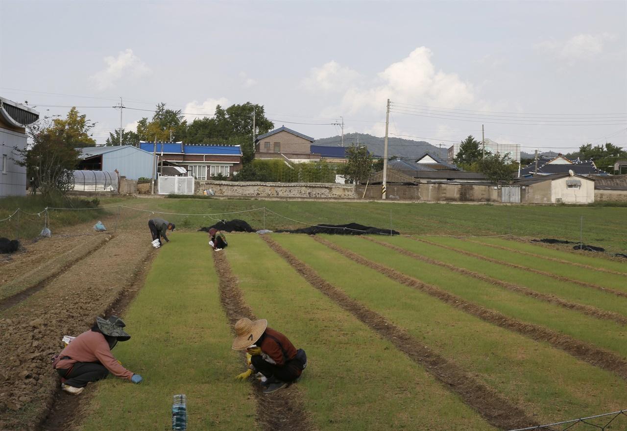 함평 향교마을 풍경. 마을 앞, 양파 모종 밭에서 마을주민들이 잡풀을 일일이 솎아내고 있다.