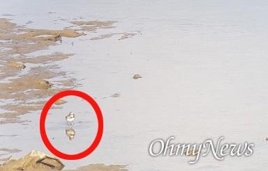 창녕함안보 수문 개방으로 상류에 있는 낙동강 우안 쪽 모래톱에 멸종위기종 '흰목물떼새'가 관찰되었다.