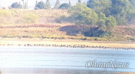 창녕함안보 수문 개방으로 상류에 있는 창녕남지 쪽 낙동강 좌안 쪽 모래밭에 가마우지와 물닭 무리가 모여 있다.