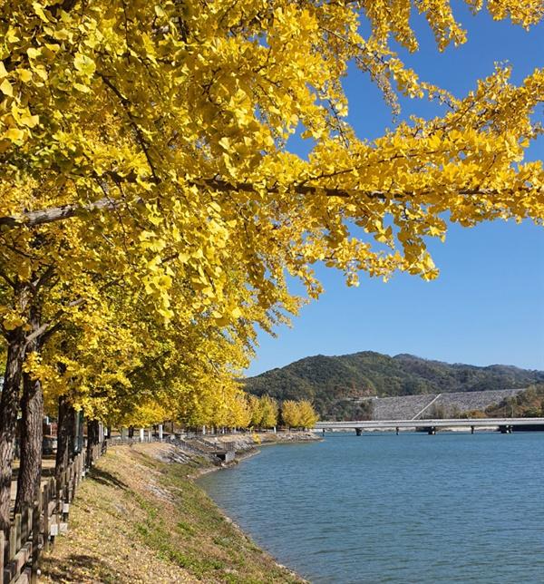노랗게 물든 은행나무와 호수의 모습