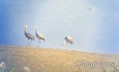 10월 26일 낙동강 창녕함안보 상류서 발견된 흑두루미 가족.