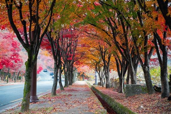 팔공산 단풍길은 군데군데 단풍나무가 두 줄로 이어지면서 터널을 이룬다.