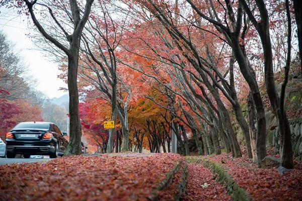 단풍나무 가로수 밑은 붉은 단풍 낙엽의 양탄자를 이루었다.