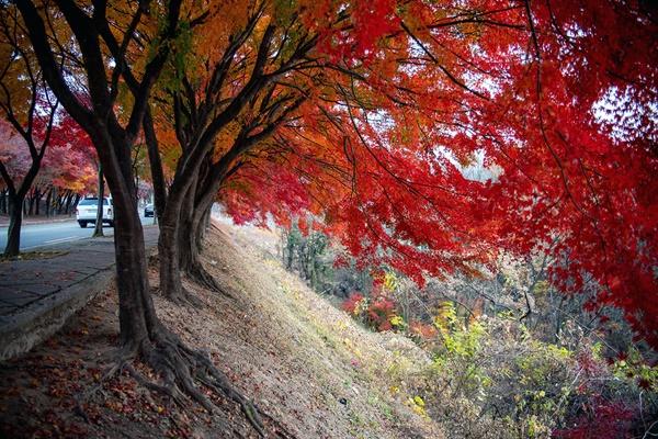 '휘영청'은 달빛을 비유하는 말이 아니라, 길 옆으로 늘어진 단풍나무의 모양을 표현하기에 적합할지 모른다.