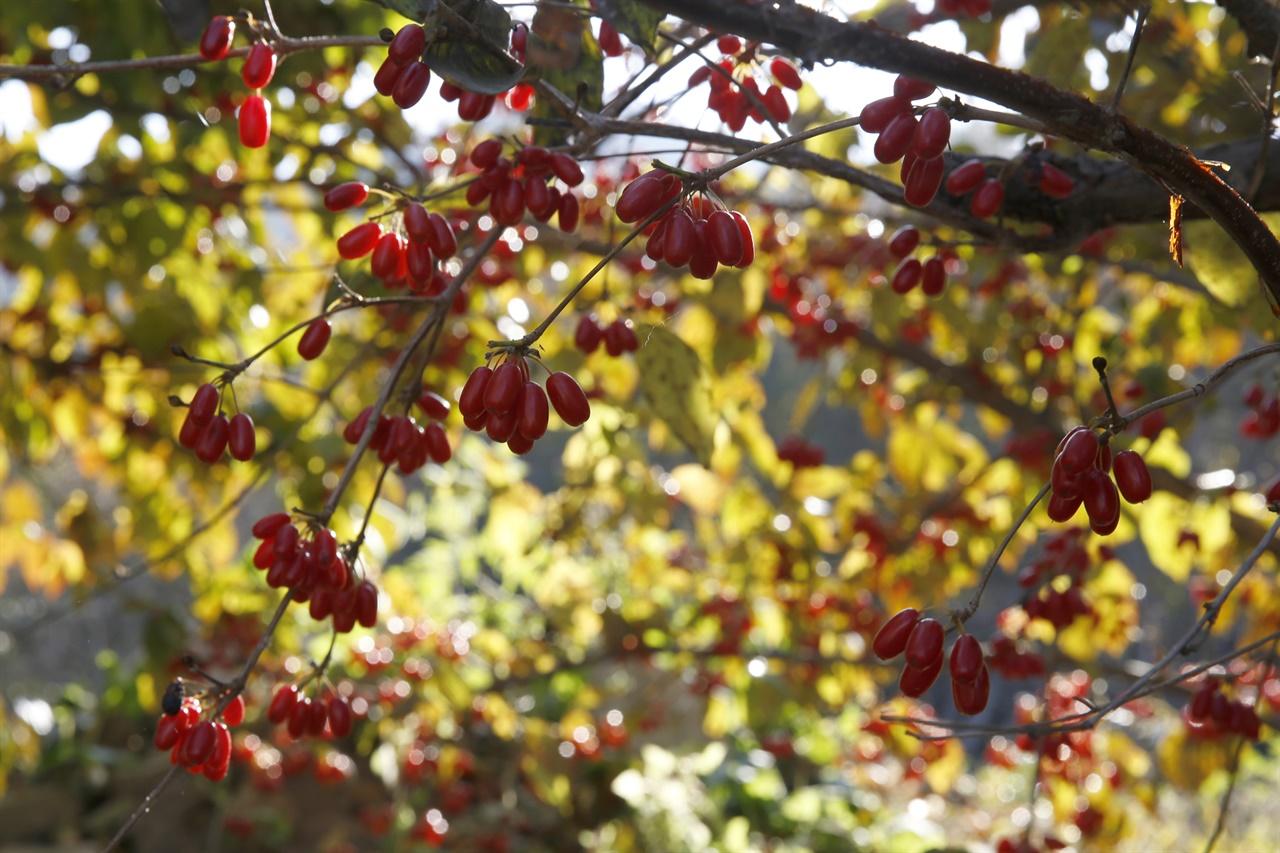 열매는 빨갛게, 이파리는 누렇게 물들어가는 산수유나무. 지난 11월 15일 구례군 산동면 현천마을 풍경이다.