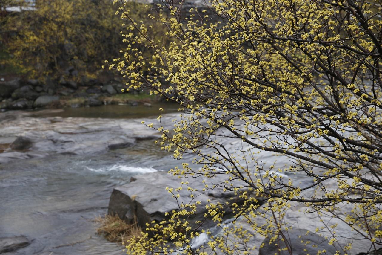지난 봄 지리산 자락을 샛노랗게 물들였던 산수유꽃. 전라남도 구례군 산동면 반곡마을 풍경이다.