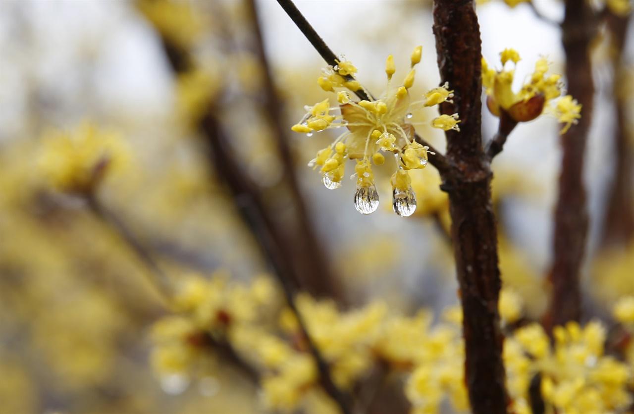 봄비를 맞아서 샛노랗게 채색된 산수유꽃. 지난 봄날 구례군 산동면에서 찍었다.