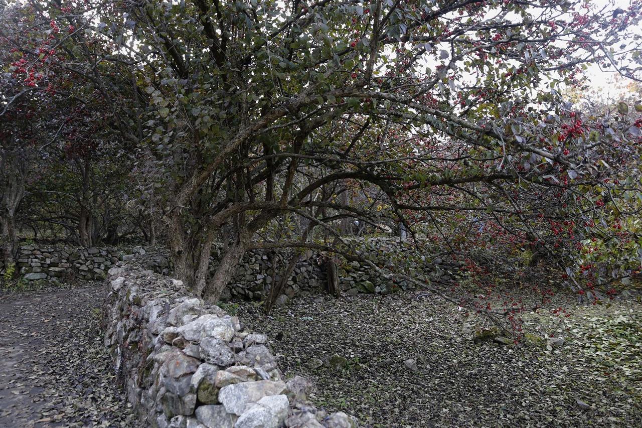 마을과 돌담길을 따라 줄지어 심어진 산수유나무. 지난 11월 15일 구례군 산동면 현천마을 풍경이다.