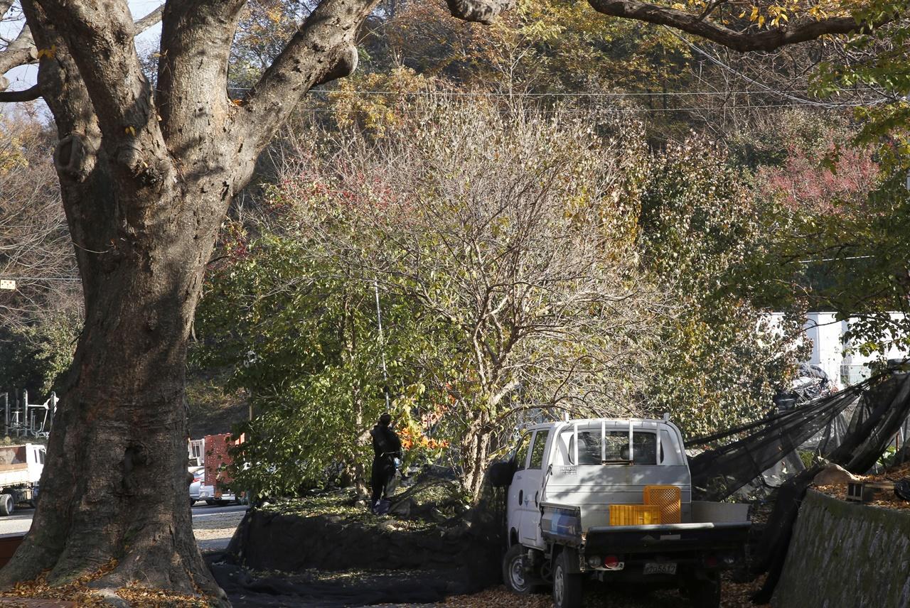 마을주민이 동력기계를 이용해 산수유나무의 열매를 털어내고 있다. 지난 11월 15일 구례군 산동면 현천마을 풍경이다.