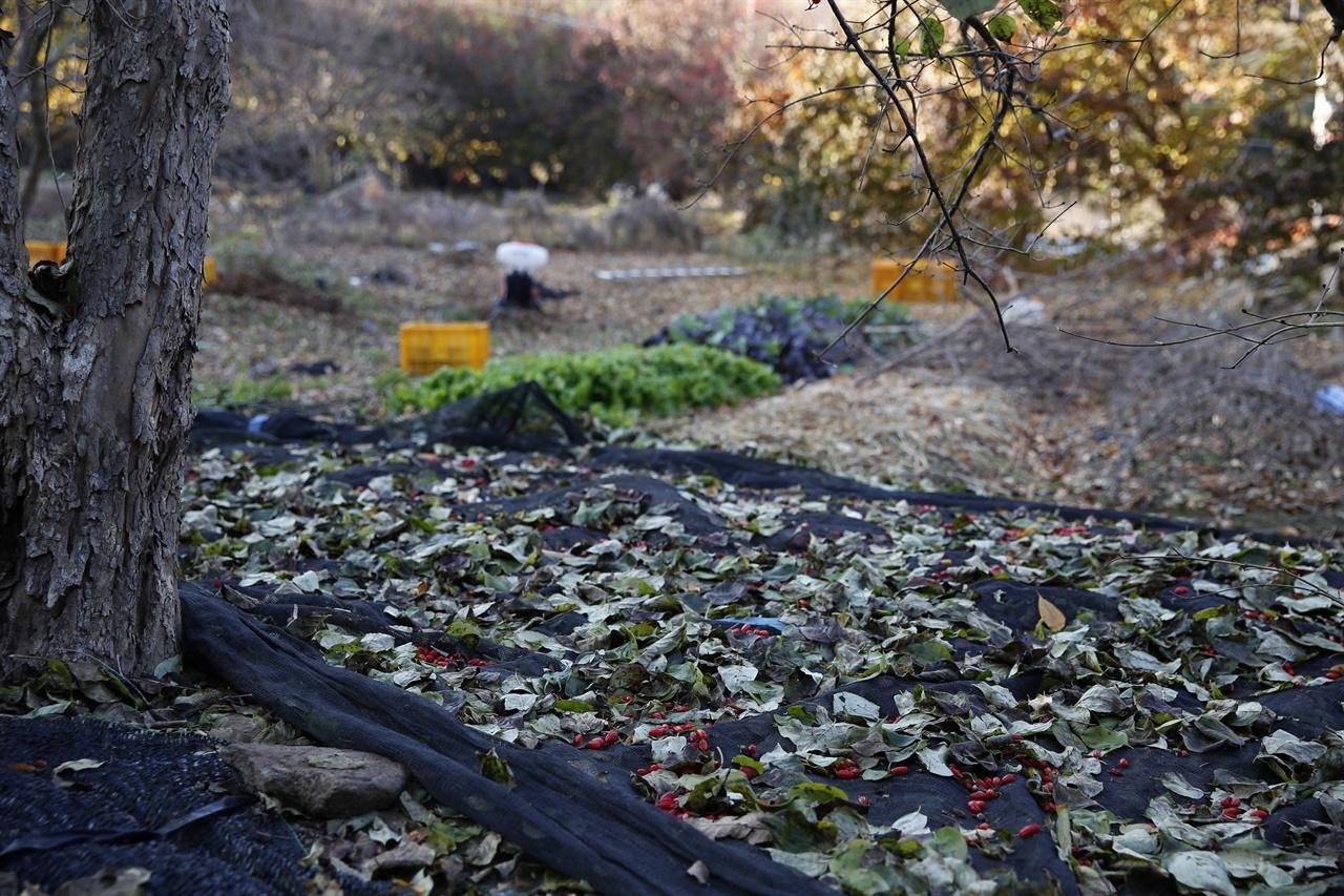 산수유나무에서 떨어진 이파리와 열매. 나무 아래에 펼쳐놓은 그물망에 산수유가 떨어졌다.