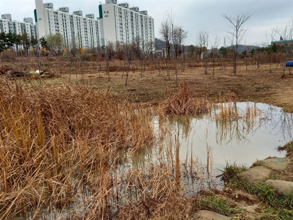 부영공원 맹꽁이 연못 지금은 물이 많이 빠졌지만 여름이면 수도 가늠할 수 없을 만큼 많은 맹꽁이들이 떼창을 합니다.