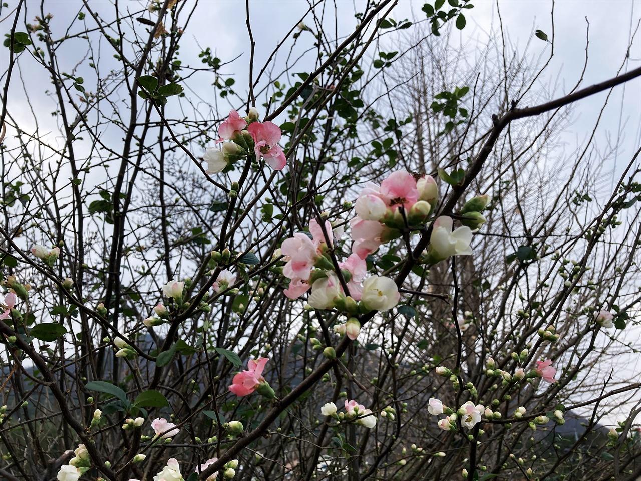 절기상 소설인 지난 22일, 봄꽃인 명자나무꽃이 활짝 핀 모습