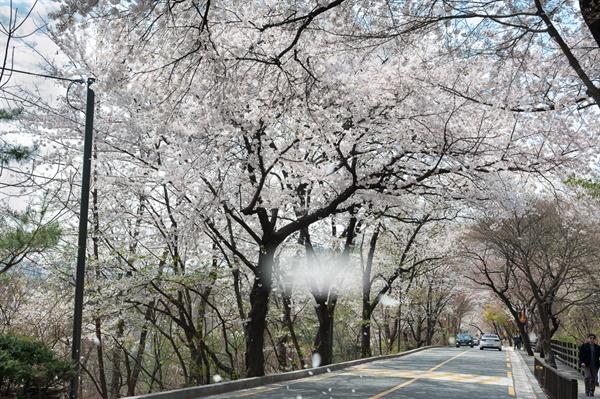 아차산생태공원으로 가는 벚꽃길 워커힐 아파트 뒷편의 벚꽃길로서 드라이빙 코스로도 좋다.