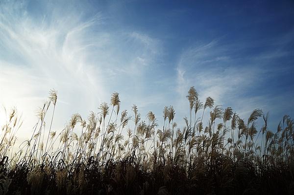 파란하늘과 억새