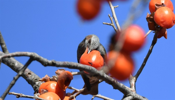 거창 청연마을 감나무의 직박구리.