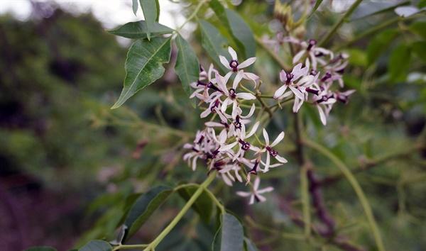 2014년 6월 중순, 강진에서 만난 멀구슬나무 꽃이다.
