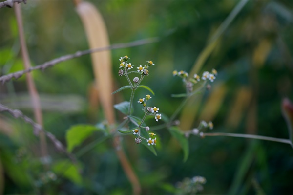 털별꽃아재비 대설이 지난 한 겨울에도 피어있는 바보꽃