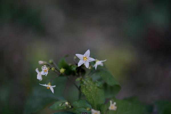 까마중 대설이 지난 한 겨울에도 피어있는 바보꽃