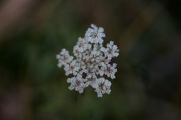 미나리 대한이 지난 한 겨울에도 피어있는 바보꽃