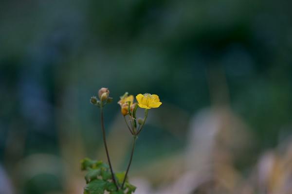 애기똥풀 대한이 지난 한 겨울에도 피어있는 바보꽃