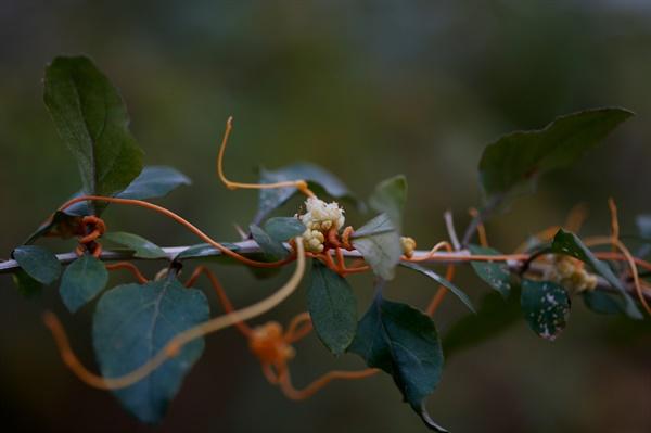 실새삼 대한이 지난 한 겨울에도 피어있는 바보꽃