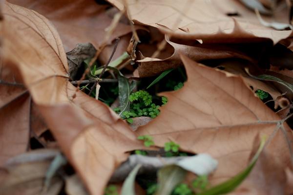 초록생명 낙엽을 옷삼아 피어있는 초록생명