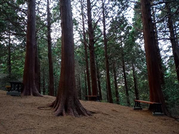 편백 숲 아내가 빠진 고흥 봉래산 편백숲입니다. 보슬보슬 보슬비가 내리는 날에는 운치가 더한답니다!