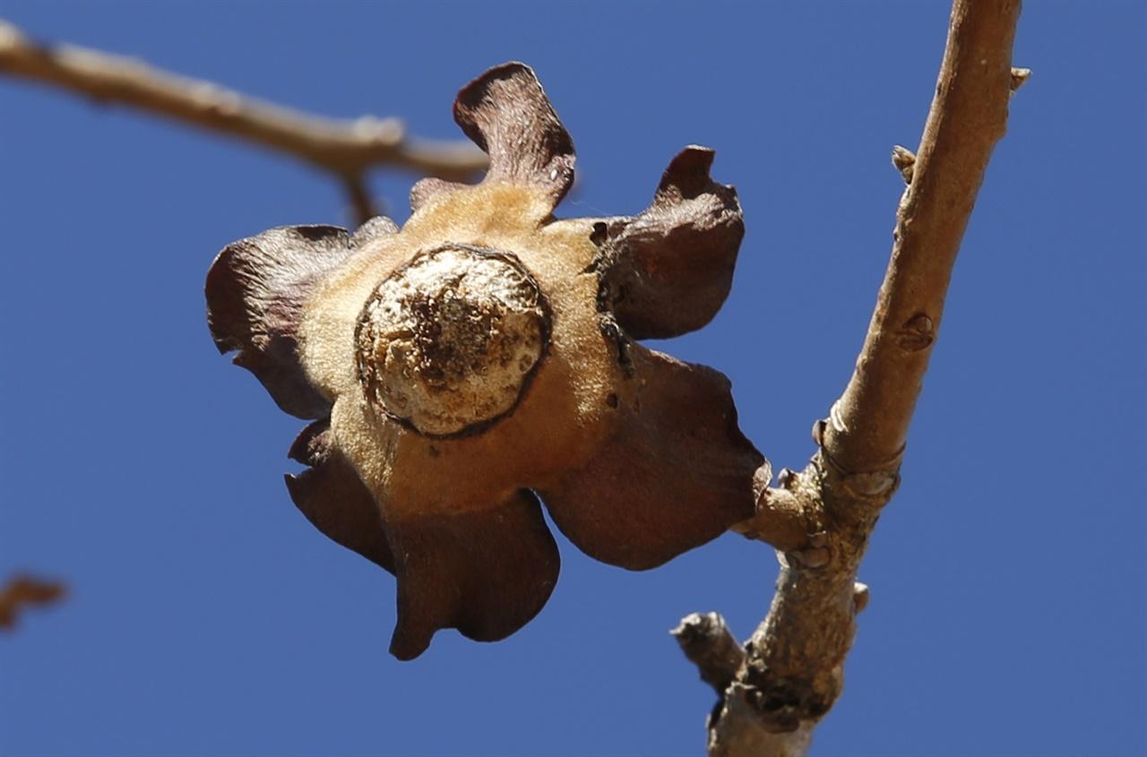 감나무가 달고 있는 '꼭지꽃'. 열매를 다 털어낸 감나무 꼭지가 만들어낸 작품이다.