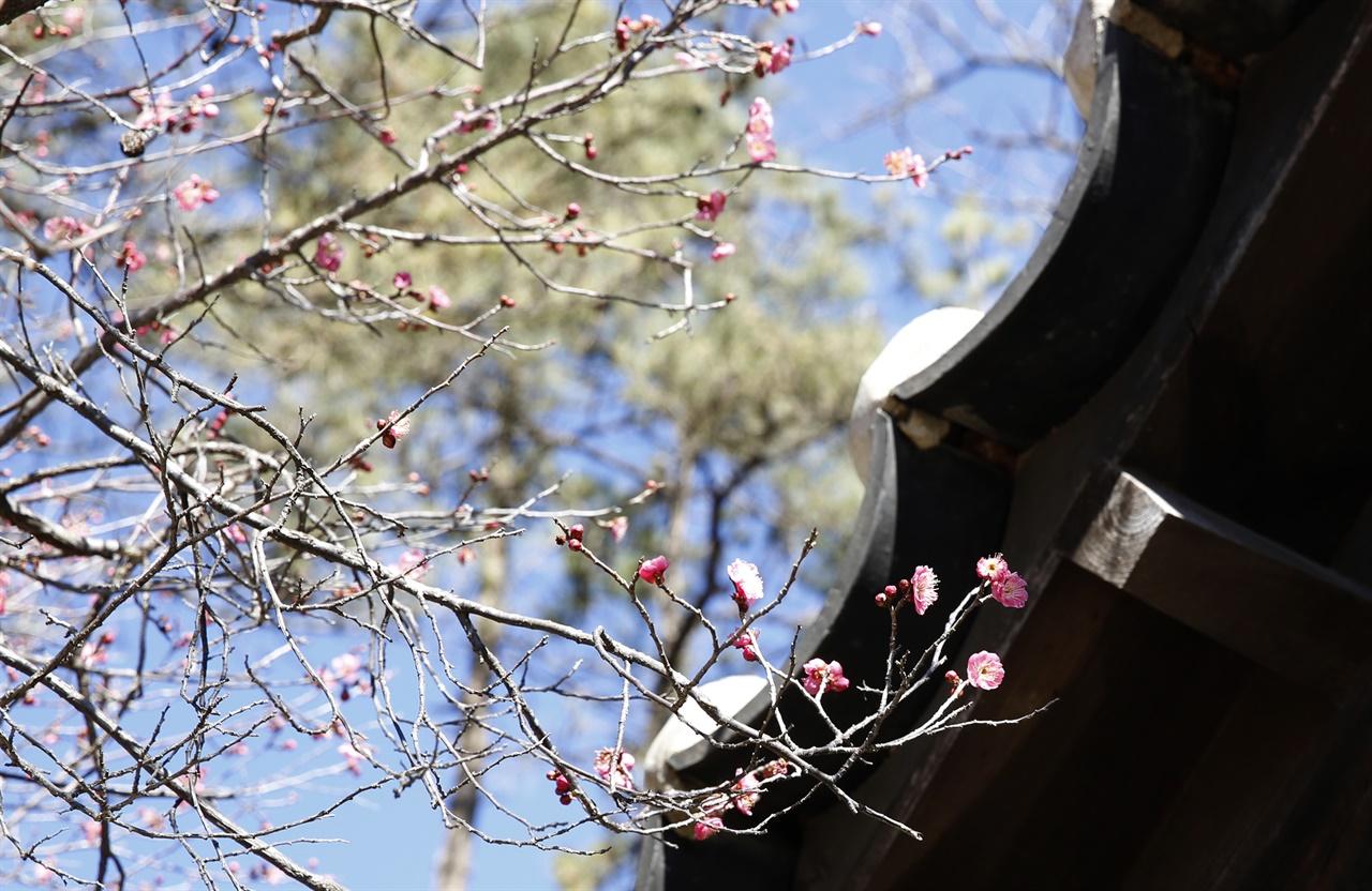 금둔사 설선당과 어우러진 납월홍매. 입춘이 지나고 봄 같은 날씨가 이어지면서 꽃을 활짝 피웠다.