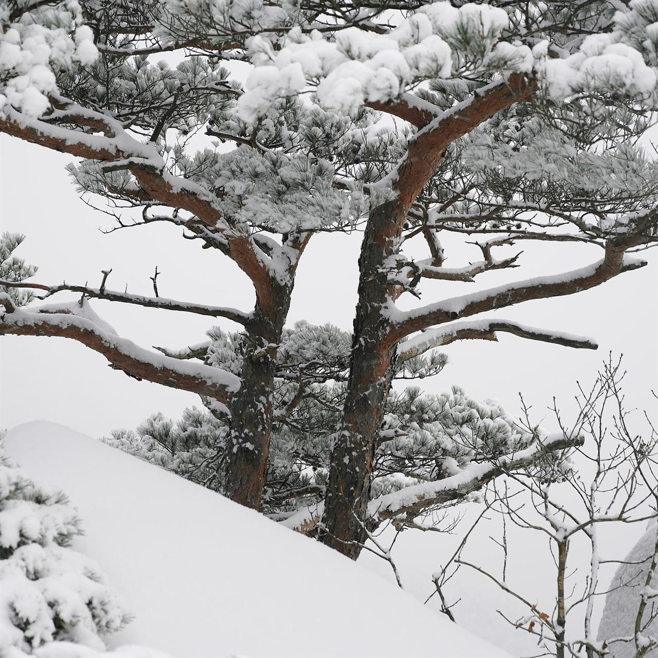 이 쌍둥이 같은 나무들은 종방향 대칭을 이루고 있어, 기하학 수업에서 연구될 법하다. 바람이 그들 각각에게 서로 다른 방향으로 불어온 듯한 모습이다.