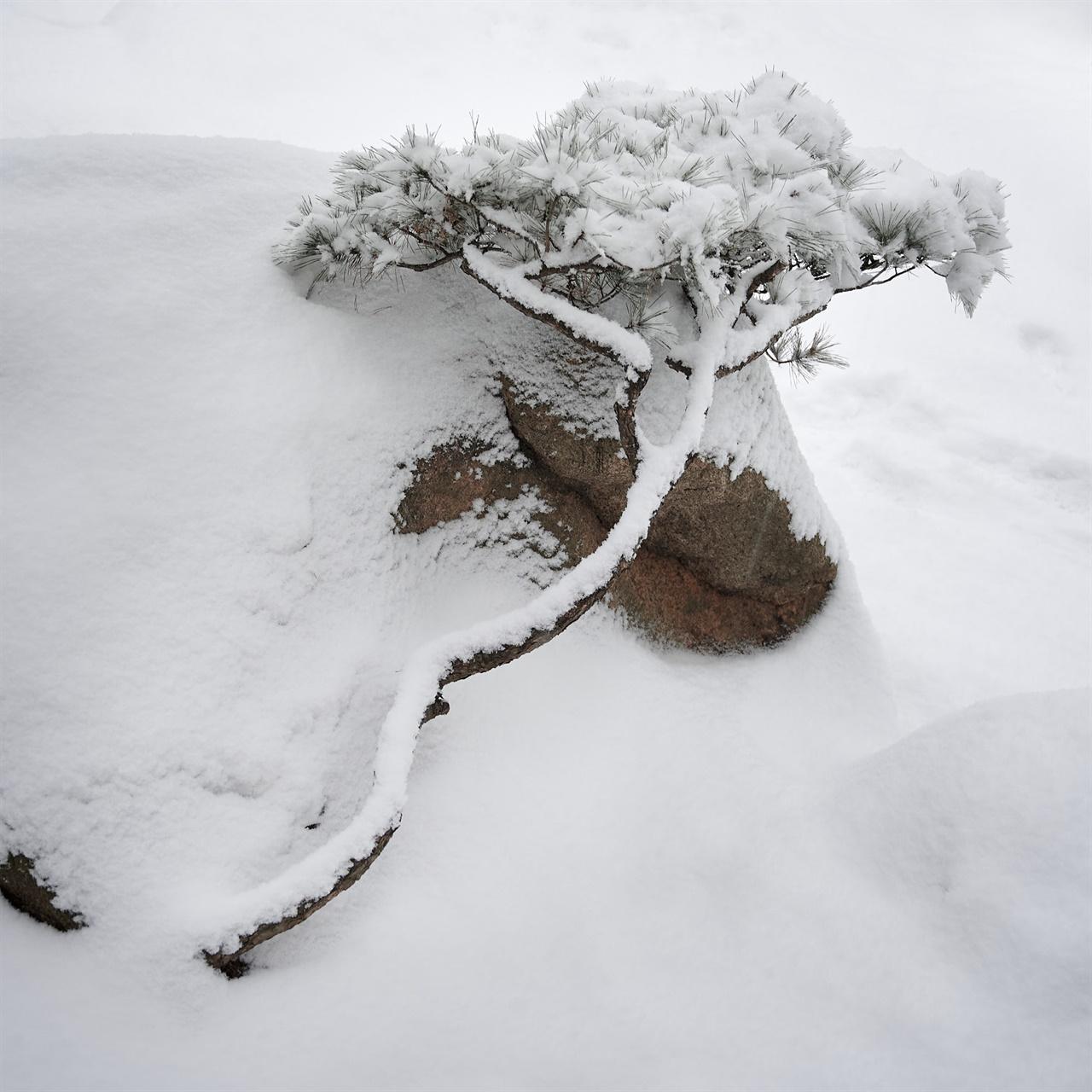 """이 나무와, 함께 있는 바위 사이 어떤 협상이 오갔는지 상상해본다. """"네가 바람으로부터 나를 막아준다면, 나는 눈을 피할 수 있게 해줄게... 하지만 내가 아주 크고 넓은 소나무가 되면 말이지."""""""