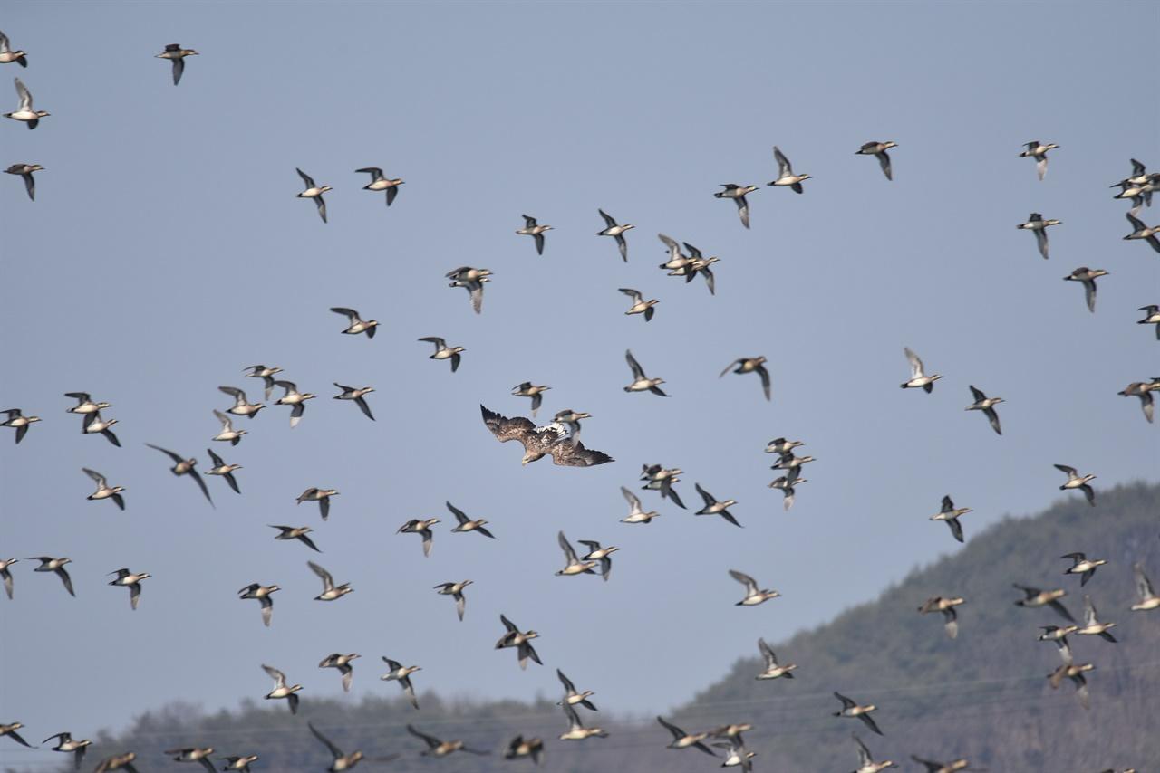 사냥중인 흰꼬리수리와 피하는 가창오리들