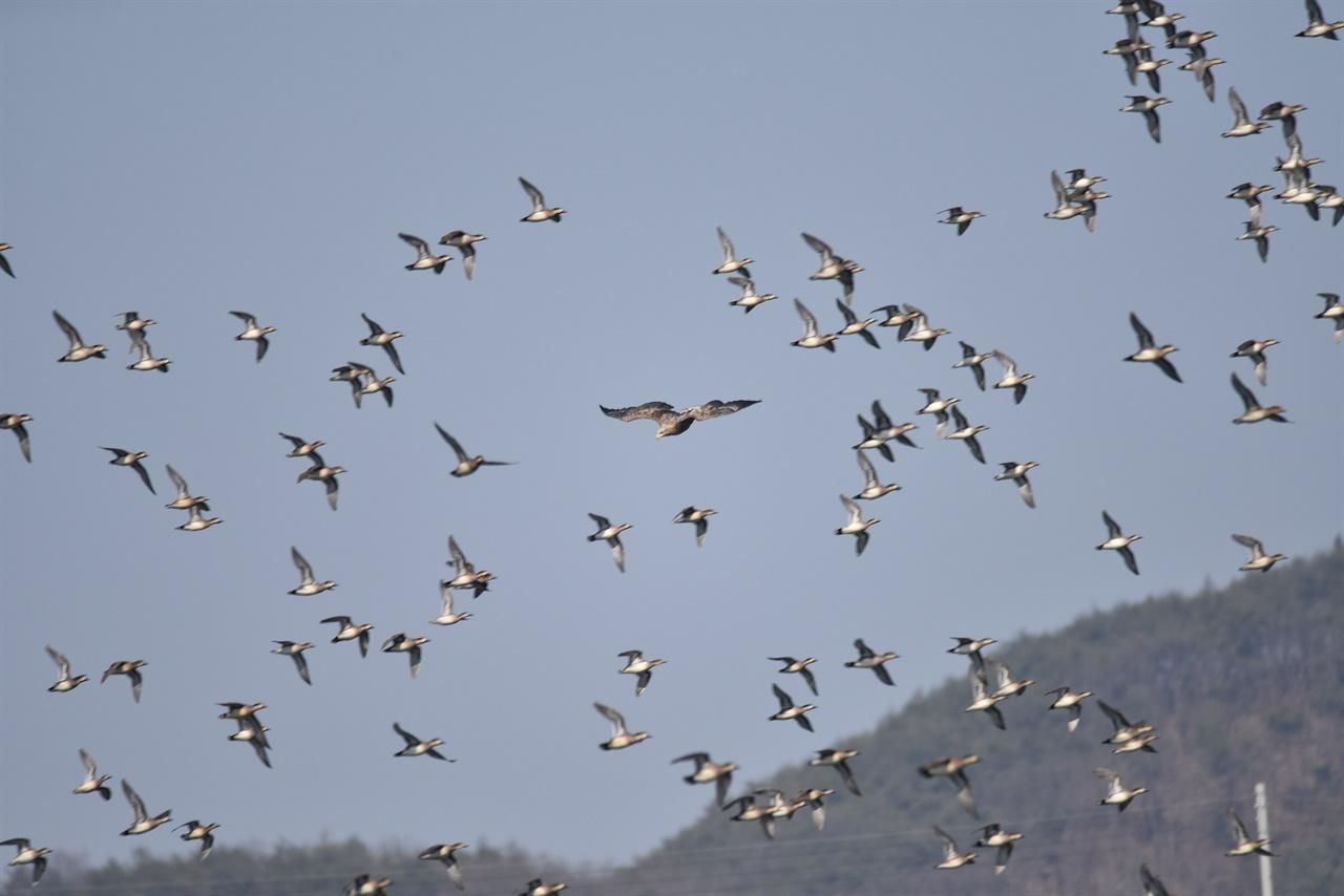 흰꼬리수리를 피해 도망치는 가창오리들