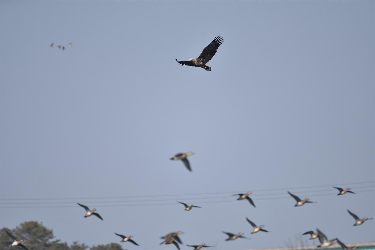 가창오리 사냥을 위해 비행하는 흰꼬리수리와 피하는 가창오리