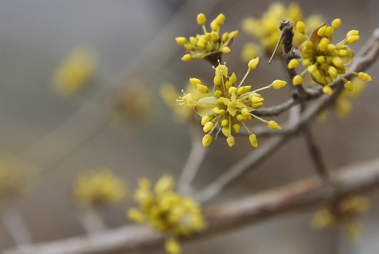 새봄을 알리며 먼저 핀 샛노란 산수유꽃. 수은 강항 선생을 모시고 있는 영광 내산서원에 피어 있다.