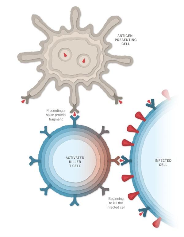 백신의 작용과정을 그림으로 보여준 뉴욕타임스