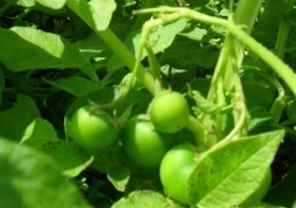 감자열매 감자꽃이 피고 지면서 열매가 달려었다.
