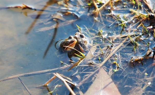 서산시 가야산 인근 개울에는 경칩을 맞아, 개구리가 겨울잠에서 깨어나 봄을 알리듯 두 눈을 껌뻑이고 있다.