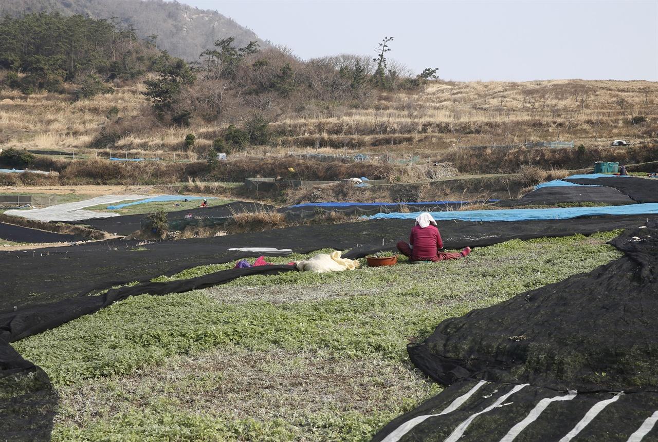 관호마을의 쑥밭. 마을주민이 밭에서 쑥을 채취하고 있다.