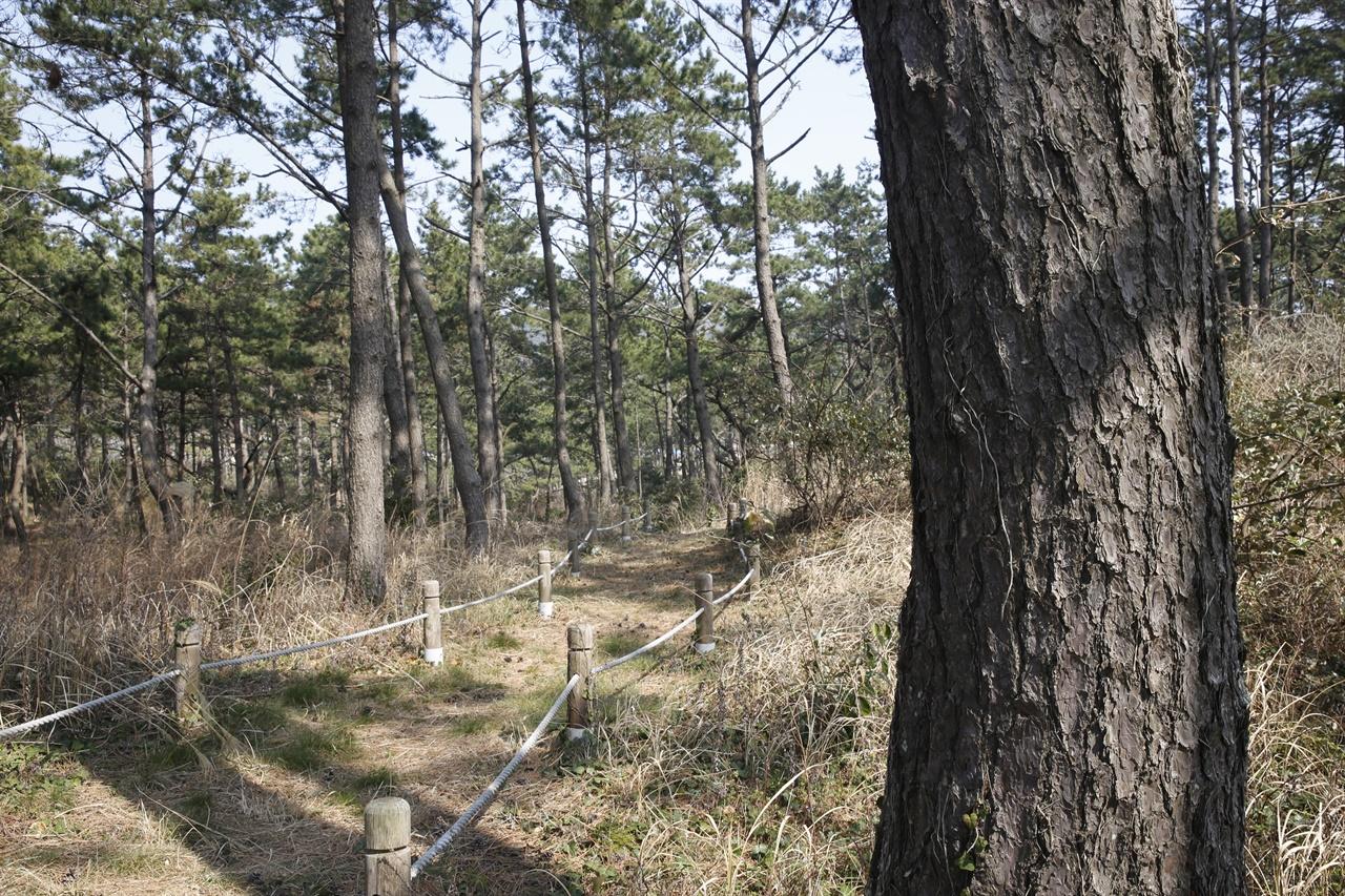 관매도 해송숲. 오래 된 소나무가 숲을 이뤄 관매도해수욕장을 감싸고 있다.