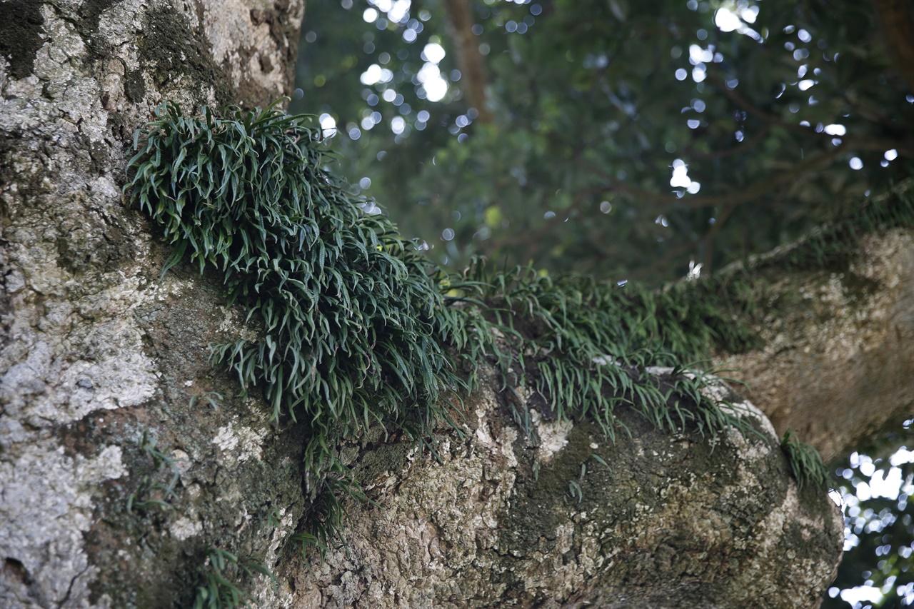 관매도 후박나무에 붙어서 자라고 있는 일엽초. 관매도의 해송과 후박나무의 격을 더 높여주고 있다.