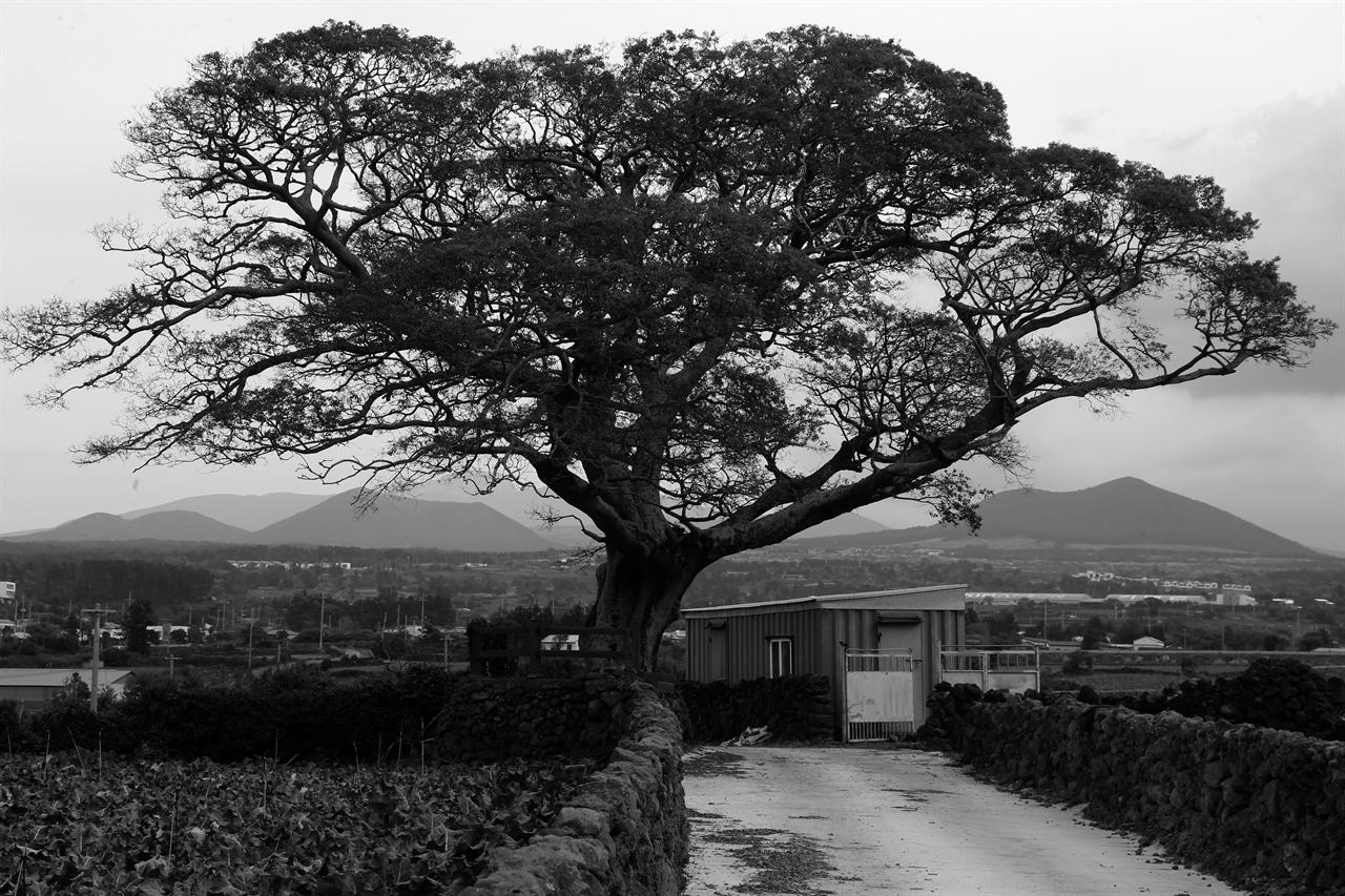 제주에서 팽나무는 '폭낭'으로 불린다.