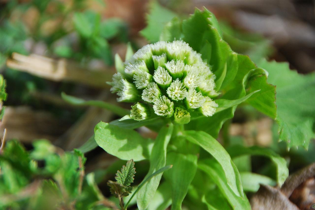 봄이 되면 머위의 실한 포기에서 머위꽃(꽃망울)이 올라오기 시작한다.