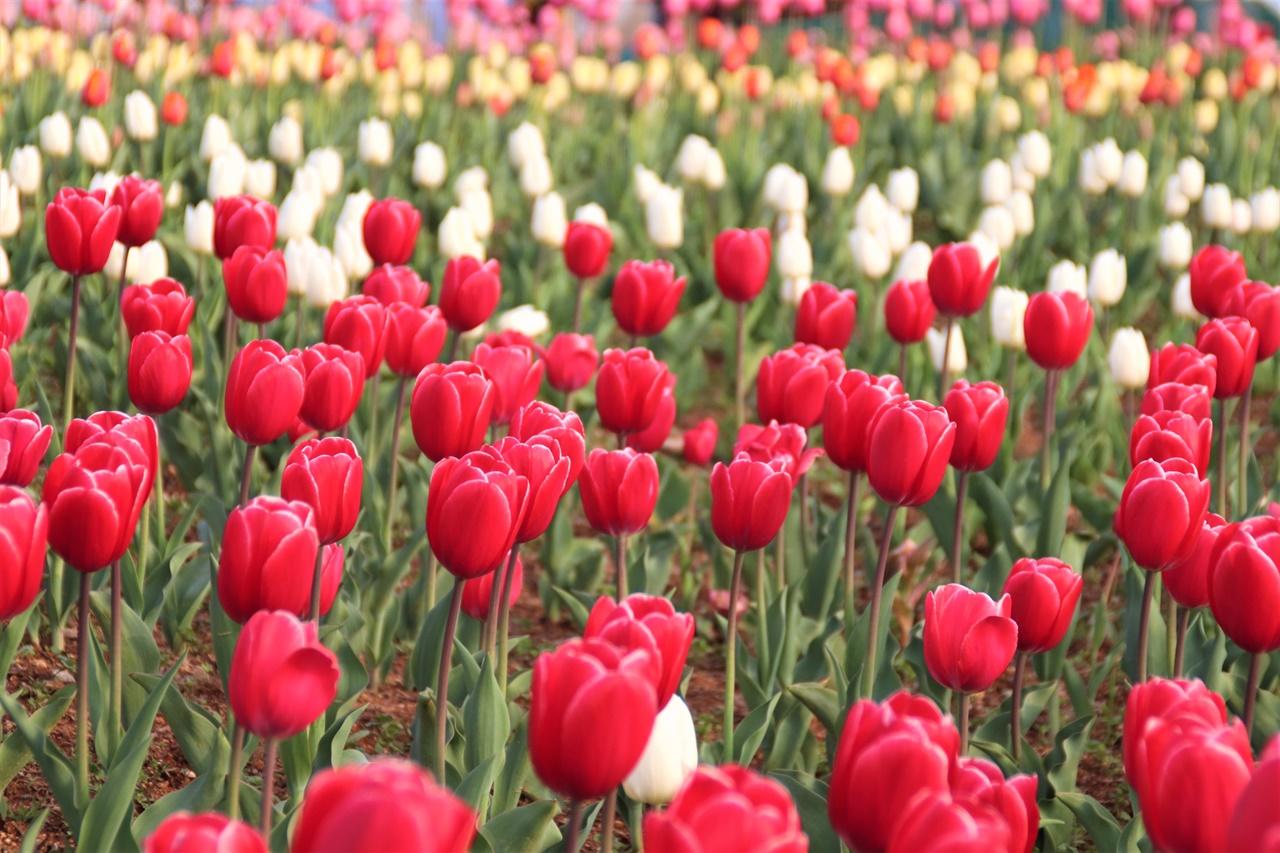 목포 삼학도 일대 목포 삼학도 일대에 피어난 튤립꽃들. 예년 같으면 축제를 했을텐데, 지금은 조용한 가운데 목포 시민들과 여행객들이 이곳에 피어난 꽃들을 구경하고 가요.