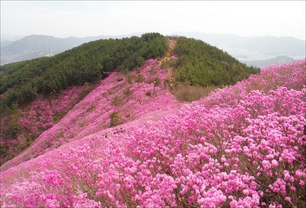 연분홍 진달래로 곱게 물든 경남 창원시 천주산(638.8m).